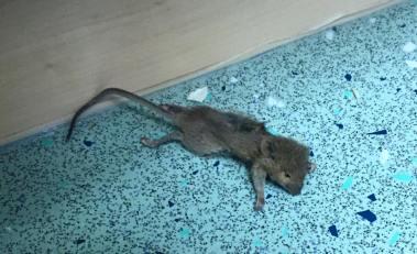HH mouse 1
